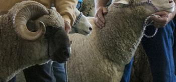 MDSW Sheep - blog